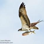 Osprey with Fish in Flight