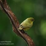 Olive-backed Euphonia Female