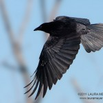 American Crow in Flight