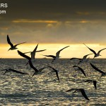 Black Skimmers in Flight at Sunset