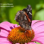 Red Admiral Butterly