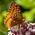 Spangled Fritillary Butterfly