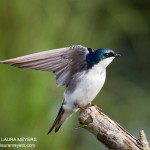 Tree Swallow at Oceanside Marine Center