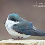 Tree Swallow on Post at Jamaica Bay Wildlife Refuge
